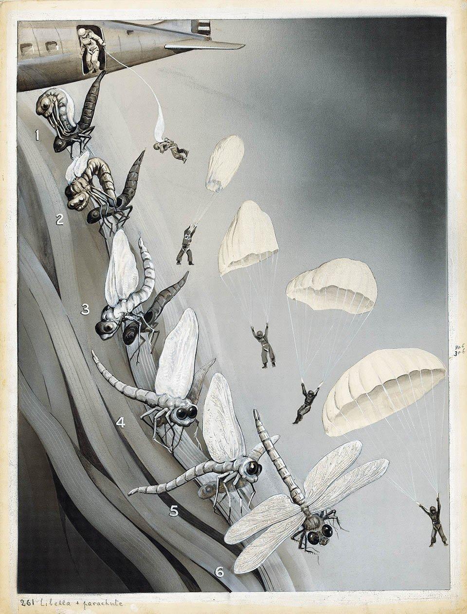 Die Entfaltung der Insektenflügel (The unfolding of insect wings) Das Buch der Natur II, Albert Müller, Rüschlikon/Zurich 1952, p. 100