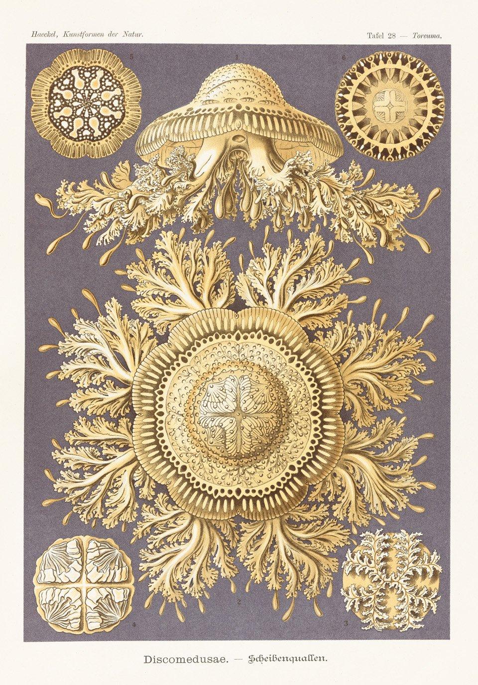 Nesseltiere und Scheibenquallen Kunstformen der Natur, 1899–1904 | Copyright: © TASCHEN Köln/Niedersächsische Staats- und Universitätsbibliothek Göttin |